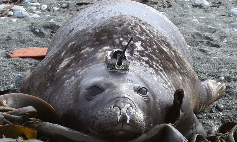 Elephant-seal-with-a-CTD-ta