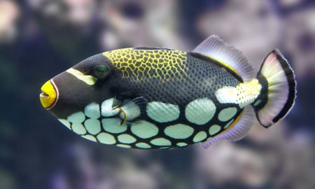 uq-triggers-reef-fish-colou
