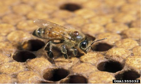 Mature varroa mite on European honey bee. Photo: Stephen Ausmus, USDA Agricultural Research Service, Bugwood.org