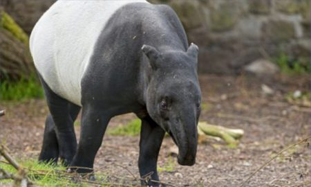 The Malay Tapir has moved from Vulnerable to Endangered on the IUCN Red List, due to large-scale deforestation associated with increased hunting. (Credit: Tambako)
