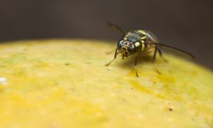 fruit fly queensland stock image