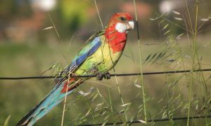 Eastern rosella at Edithvale wetland_Credit Wayne Butterworth CC BY 3.0