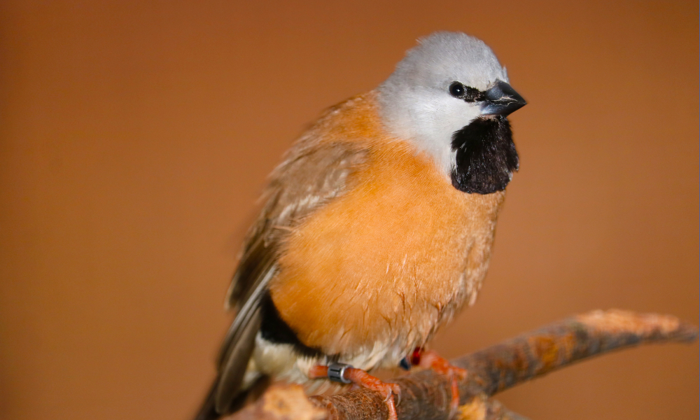 black throated finch stock image