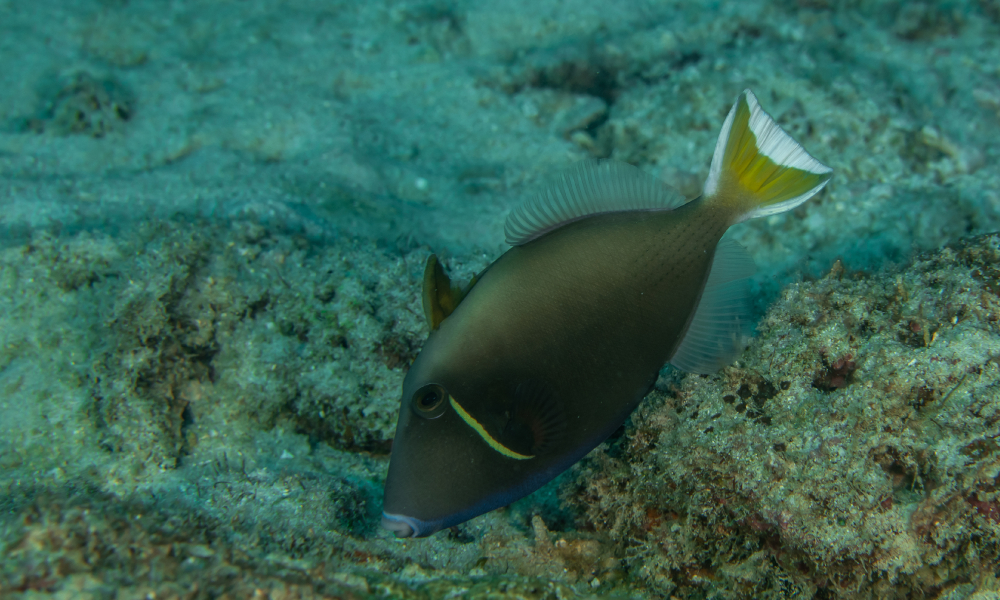 triggerfish stock image