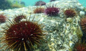 Geelong arm of Port Phillip Bay urchins. Credit Scott Ling