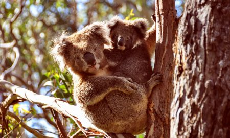 Female koala and joey at Cape Otway, Vic