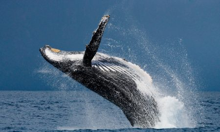 humpback whale stock