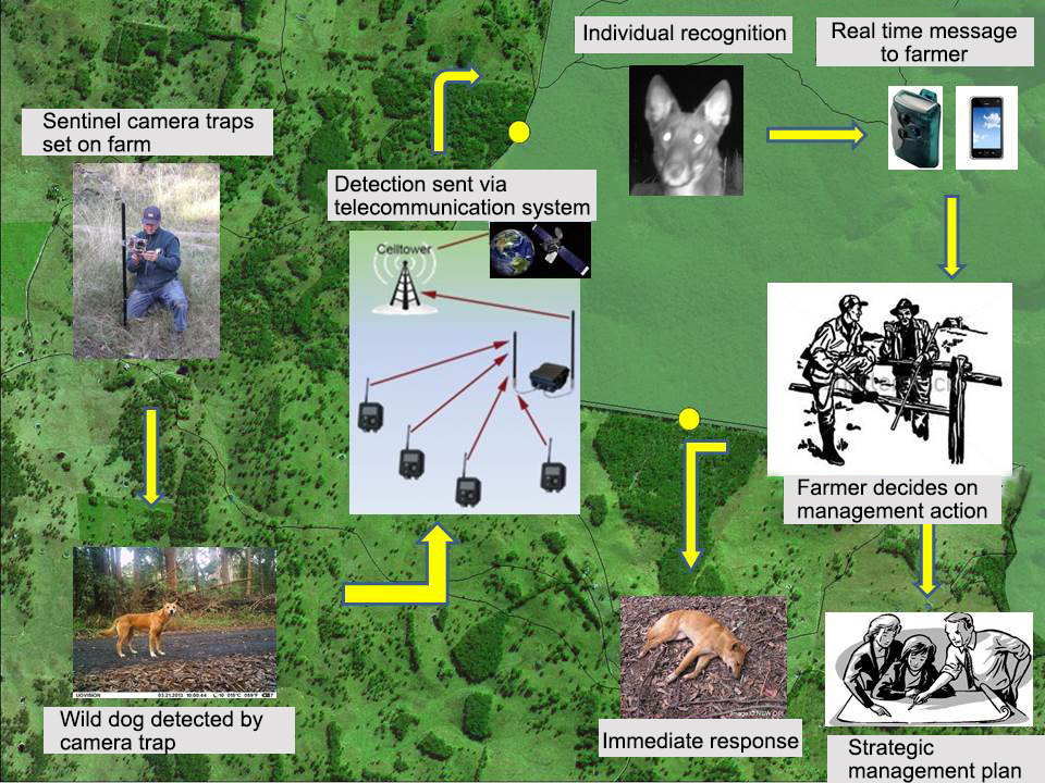 The Wild Dog Alert schematic representation of how the 'early detection' system alerts landholders so management action can be undertaken (image developed by Centre for Invasive Species Solutions).