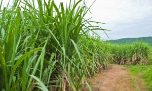 sugar cane field stock image