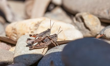 crickets mating stock image