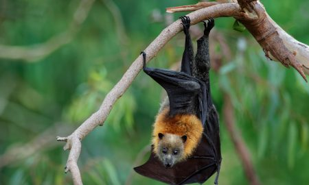 flying fox stock image