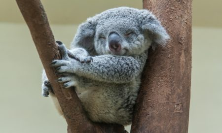 koala cute sleeping stock imagekoala cute sleeping stock image