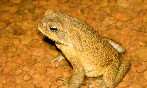 A male cane toad. Photo: David Nelson.