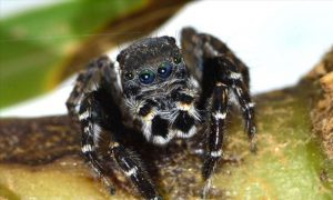 Karl Lagerfeld's Jumping Spider, also known as the 'Jotus karllagerfeldi' (pictured). Image: Mark Newton