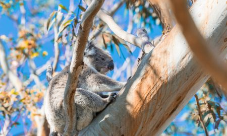 koala in tree national park stock image