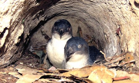 Little Penguins in nest. Credit Fernando Arce
