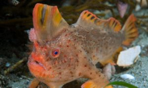Red handfish. Thymichthys politus. Credit Rick Stuart-Smith (11)m