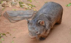 Science-wombat-diet-crop
