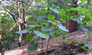 Gympie-Gympie stinging tree