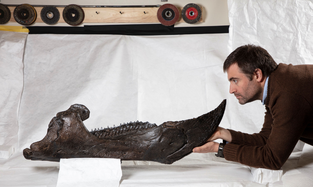 Dr Erich Fitzgerald looking at the lower jaw of the Triceratops. Photographer - John Broomfield. Source - Museums Victoria