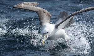 Albatross deaths