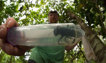 Entomologist and bee expert Eli Wyman with the first rediscovered individual of Wallace's giant bee (Megachile pluto) in the Indonesian islands of the North Moluccas. © Clay Bolt : claybolt.com.jpg