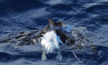 Dead black browed albatross with balloon string. Credit Todd Burrows