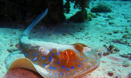 The bluespotted stingray, generally found from Indonesia to Japan, and most of Australia.