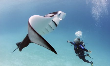 Manta with Diver, dr. Mark Meekan of the AIMS Perth, Australia