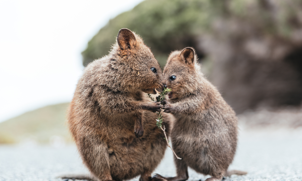 World-first science helps the beloved quokka - GetSTEM